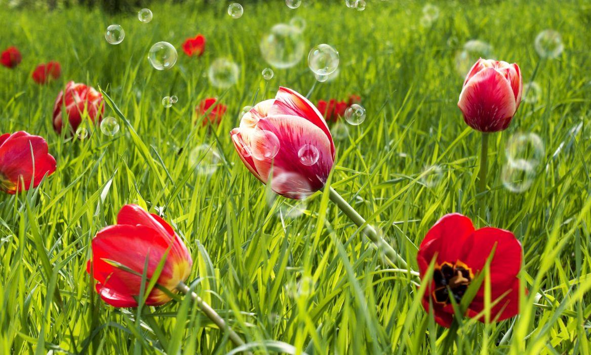tulips flowers bubbles bokeh wallpaper