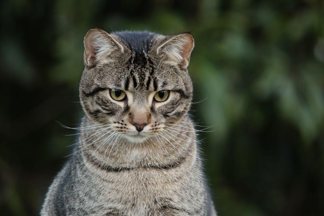 cat gray eyes wallpaper