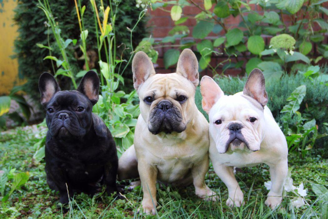 french bulldog dog puppy wallpaper