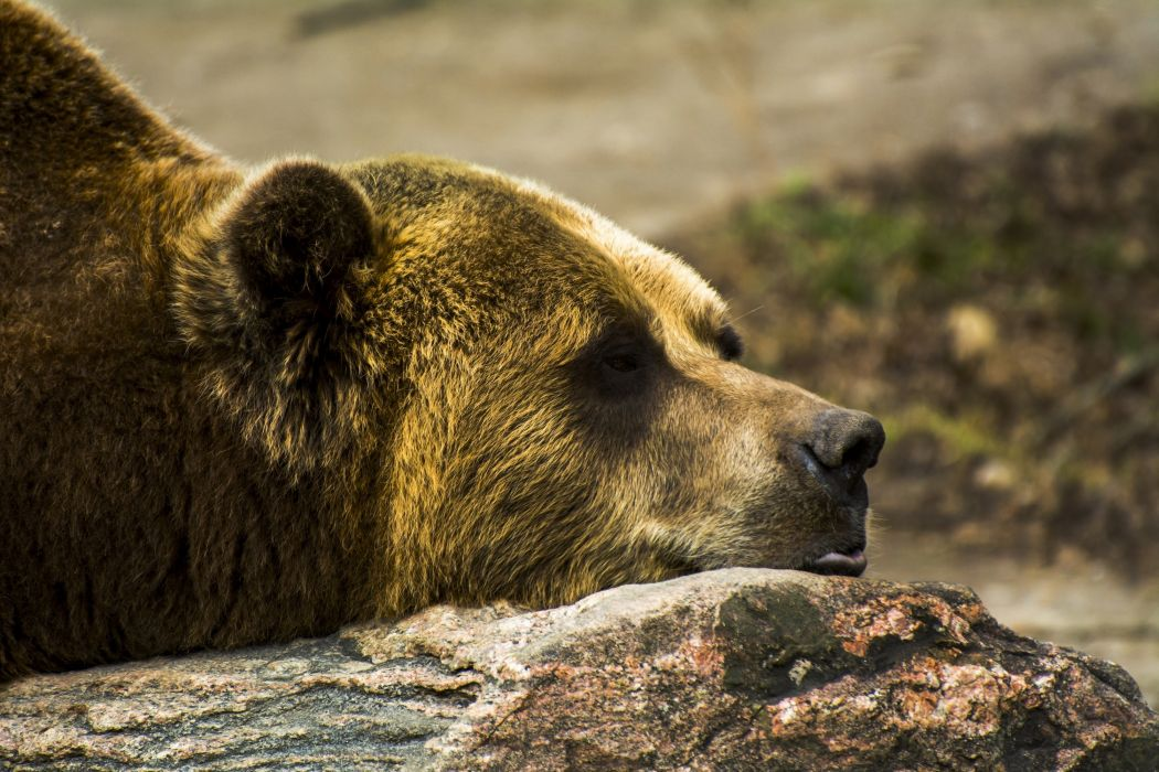 grizzly bear stone face profile lies wallpaper