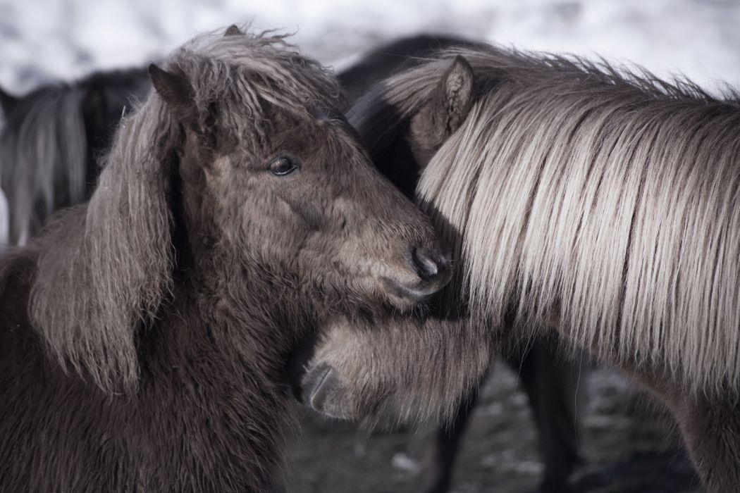 horse pony couple friendship mane wallpaper