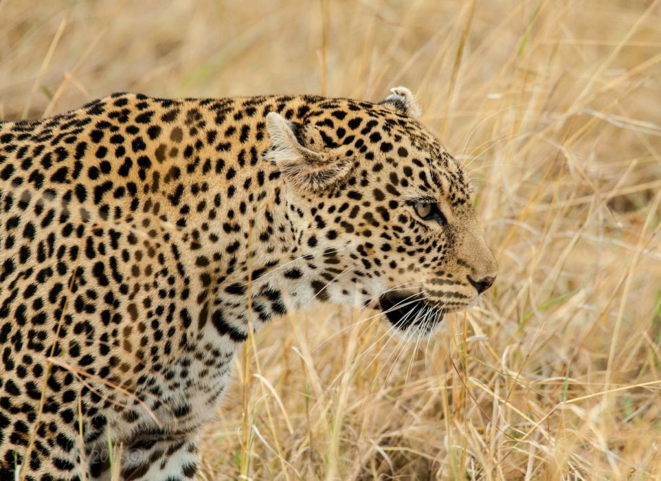 leopard wild cat face profile grass wallpaper