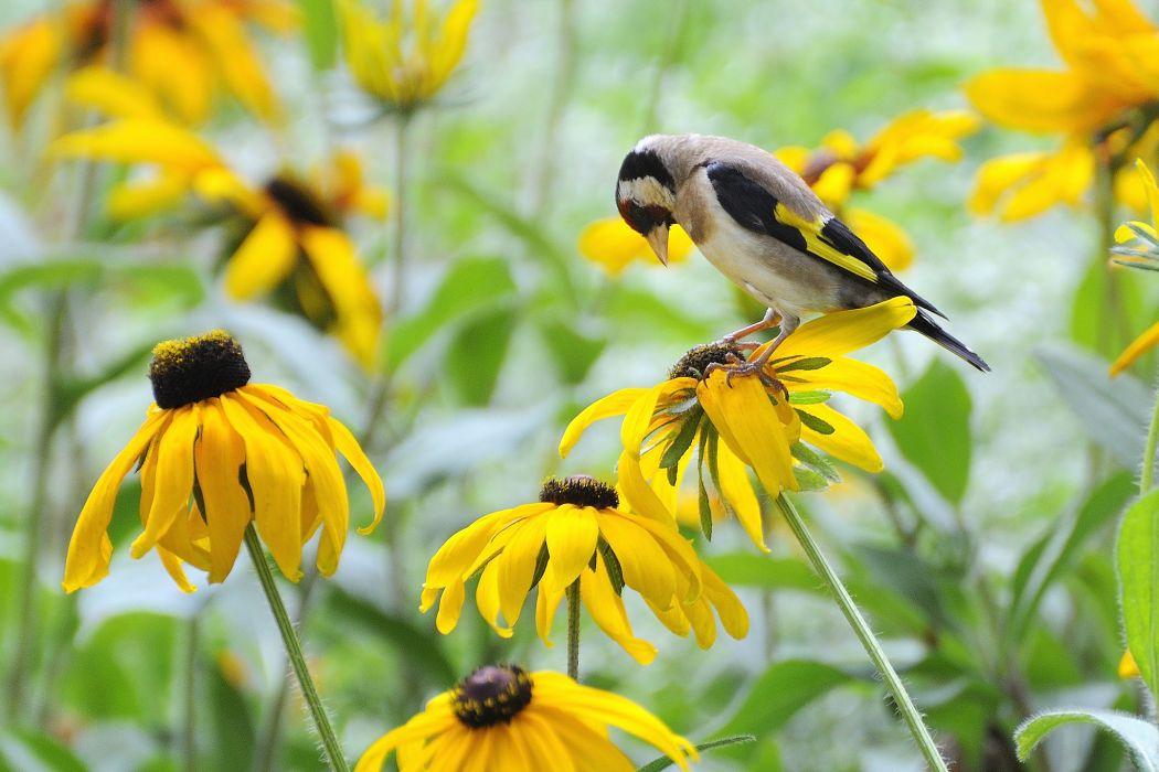 rudbeckia bird flowers yellow wallpaper