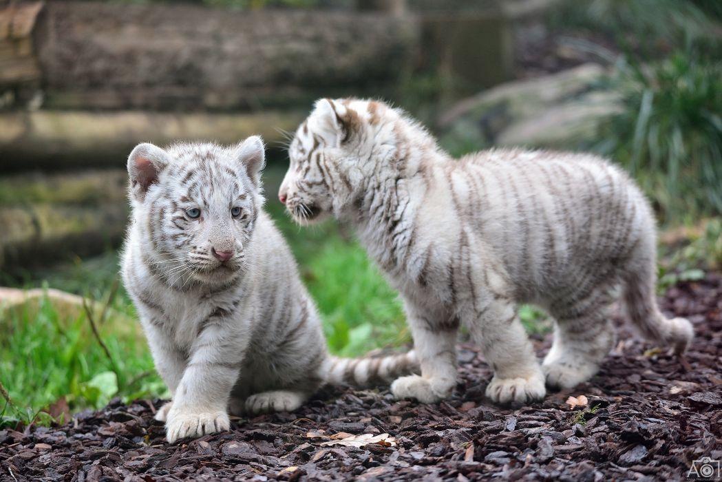 tiger cub kitten baby wallpaper