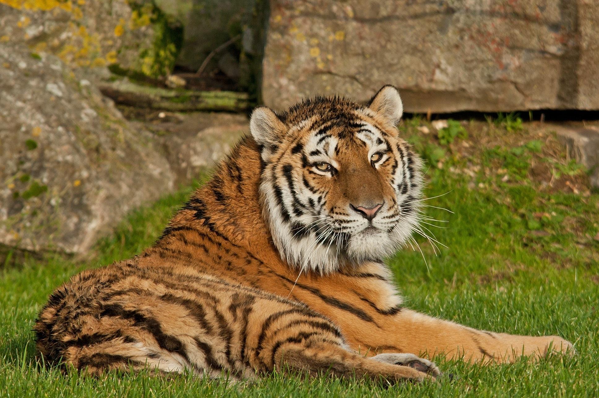 тигры трава природа  № 2011248 загрузить