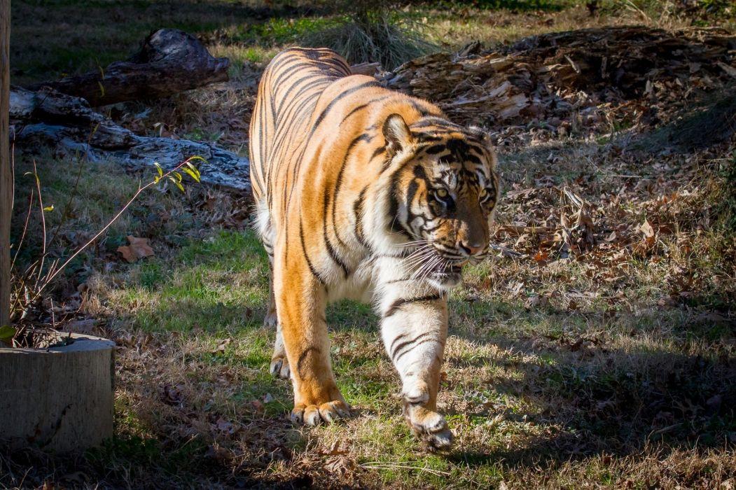 tiger wildcat   f wallpaper