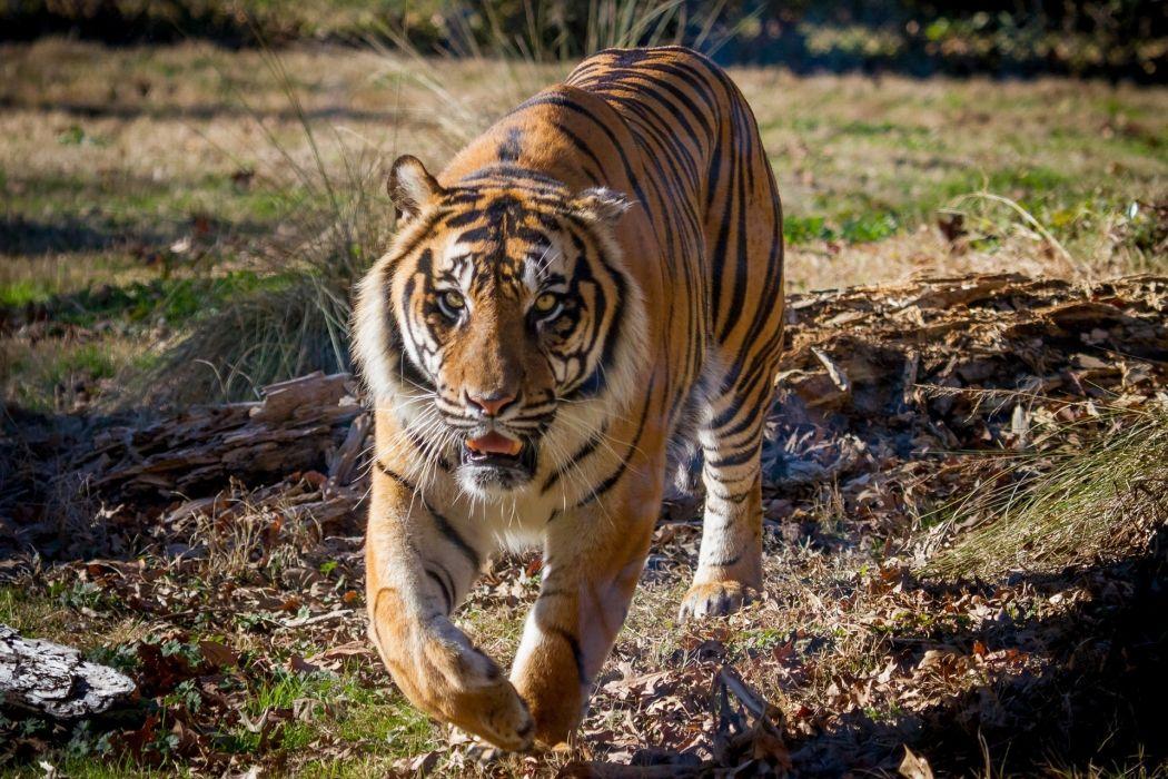 tiger wildcat wallpaper