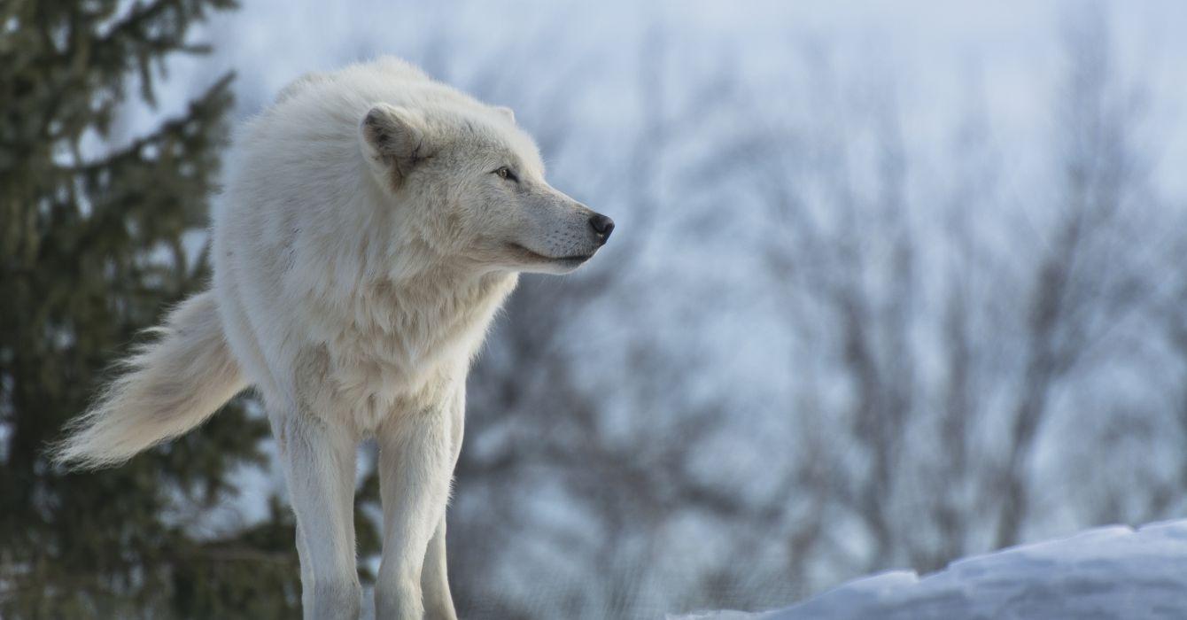 wolf predator profile winter snow wolves wallpaper