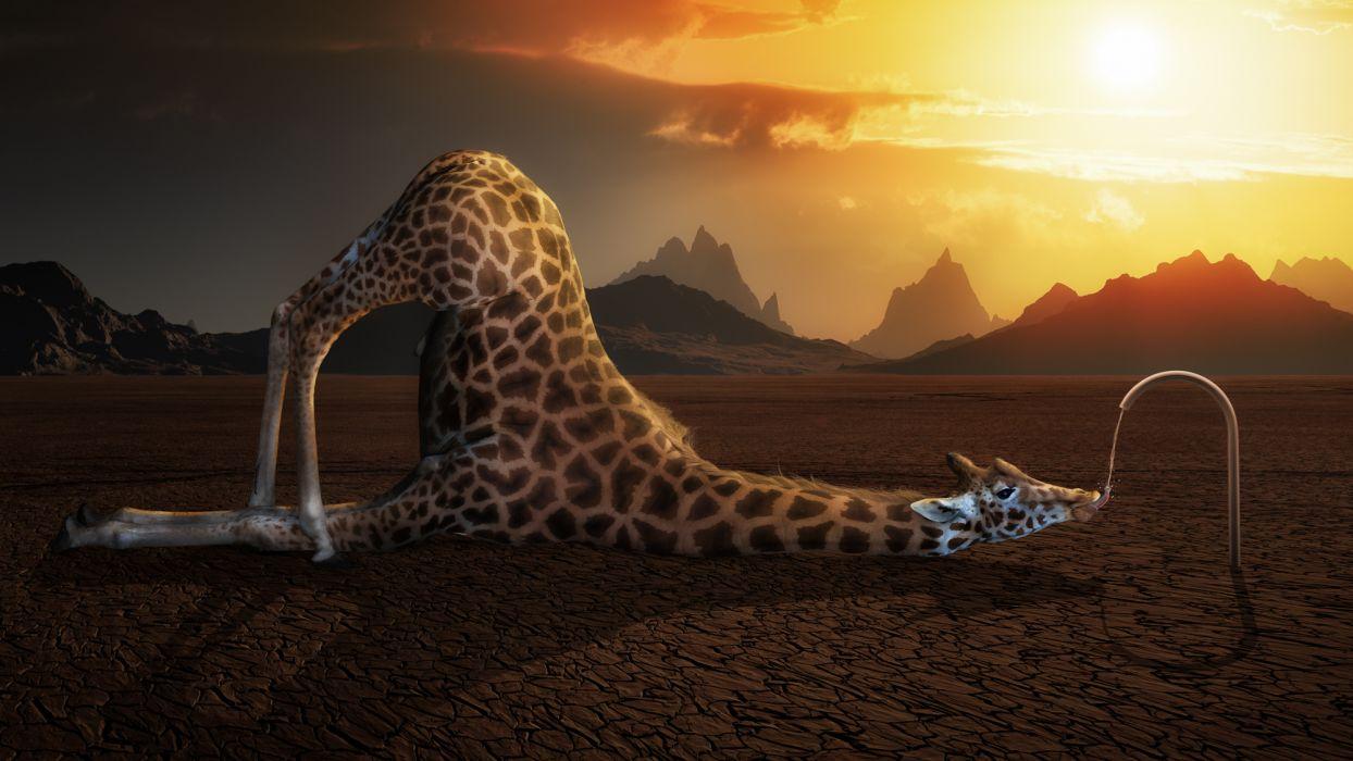 giraffe desert thirst water the situation wallpaper