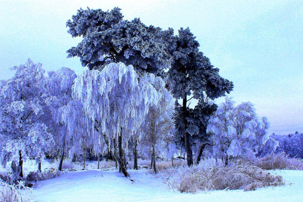 winter trees nature wallpaper