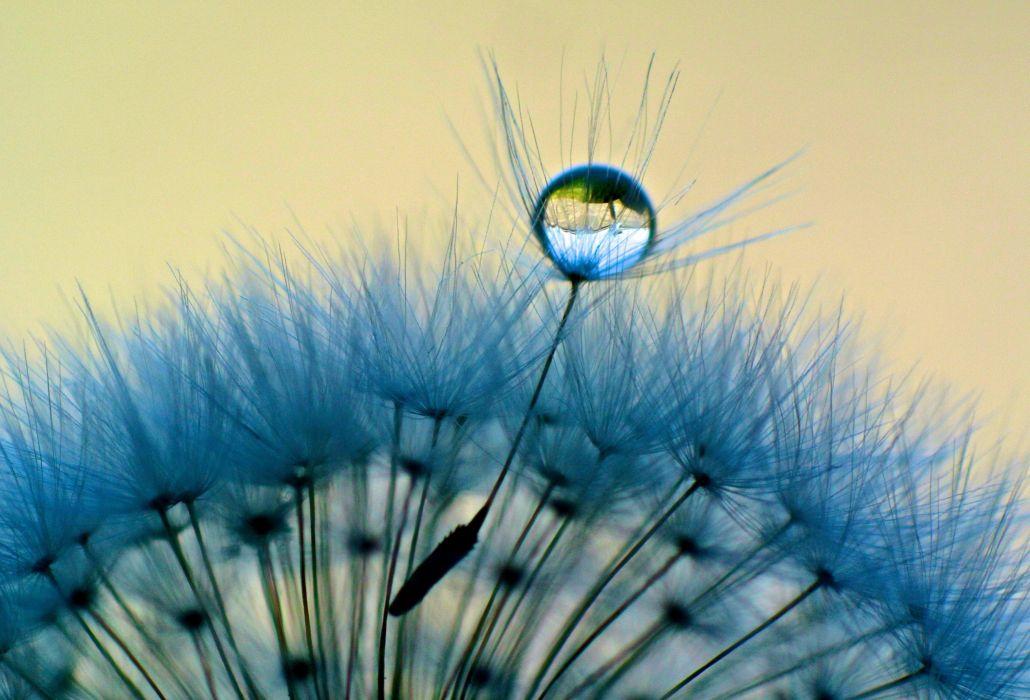 close-up dandelion macro dandelion drops dew water wallpaper