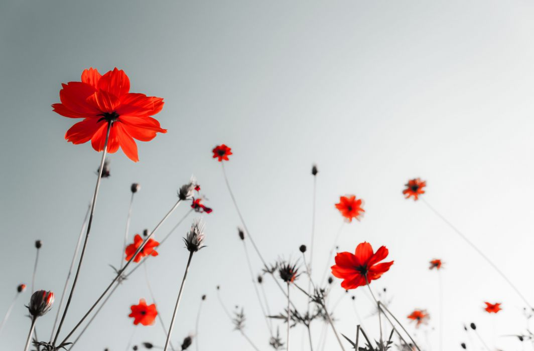 flower poppy poppies wallpaper