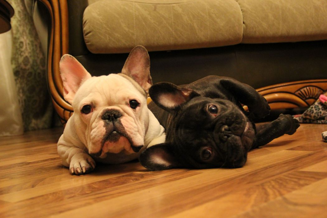 French bulldog two muzzle wallpaper