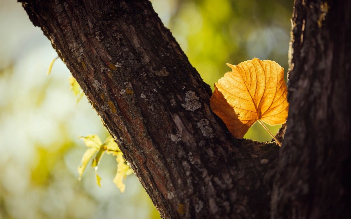macro leaf leaf yellow shape tree trees leaves stem bark blur autumn wallpaper