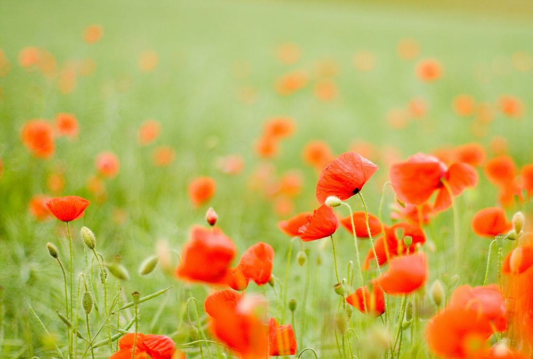 buds field red poppies flowers wallpaper