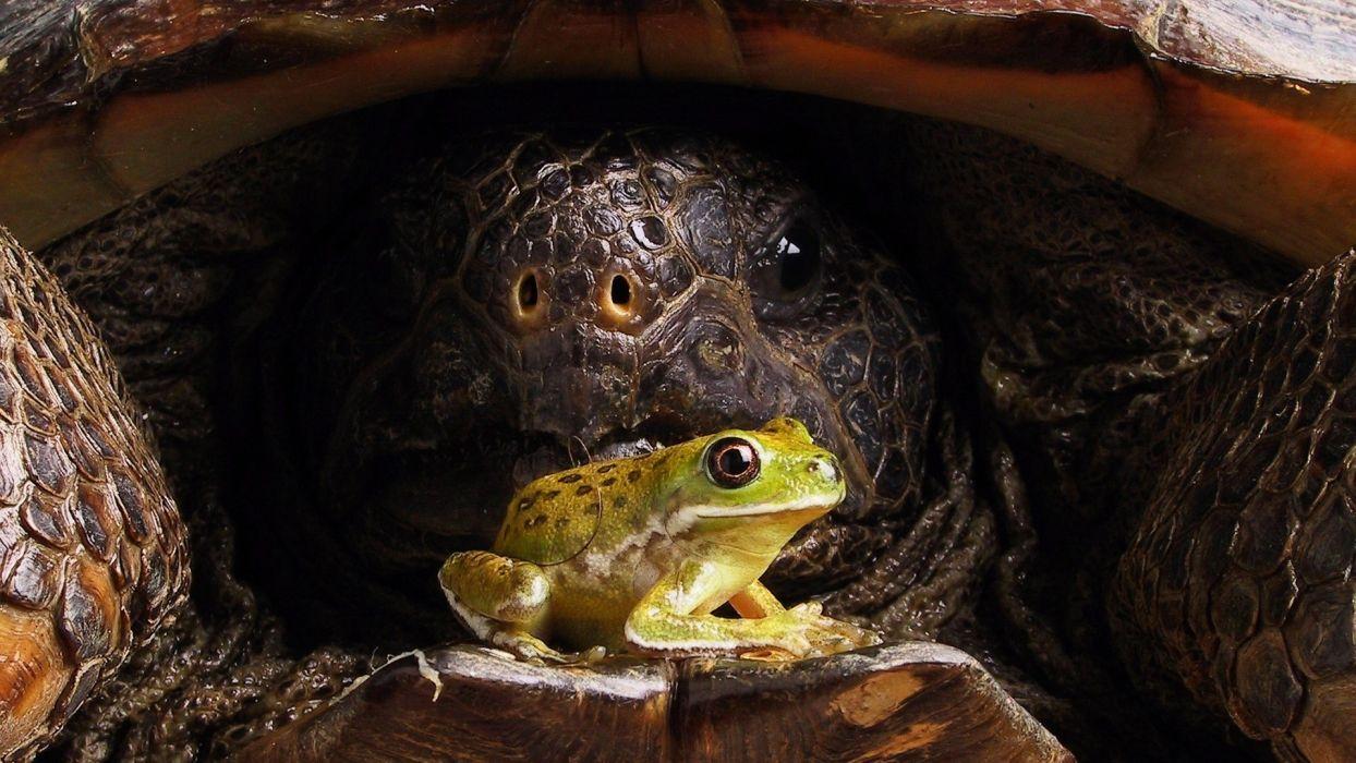 turtles frogs reptiles amphibians tree frogs wallpaper
