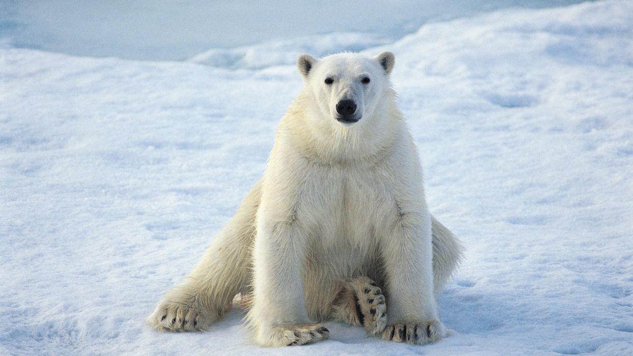 animals sitting polar bears wallpaper