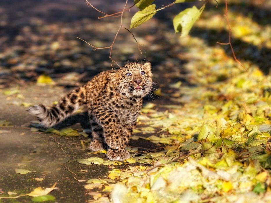 animals leopards baby animals fallen leaves wallpaper