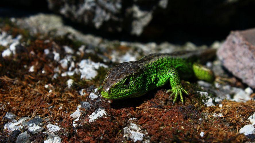 nature lizards reptile wallpaper