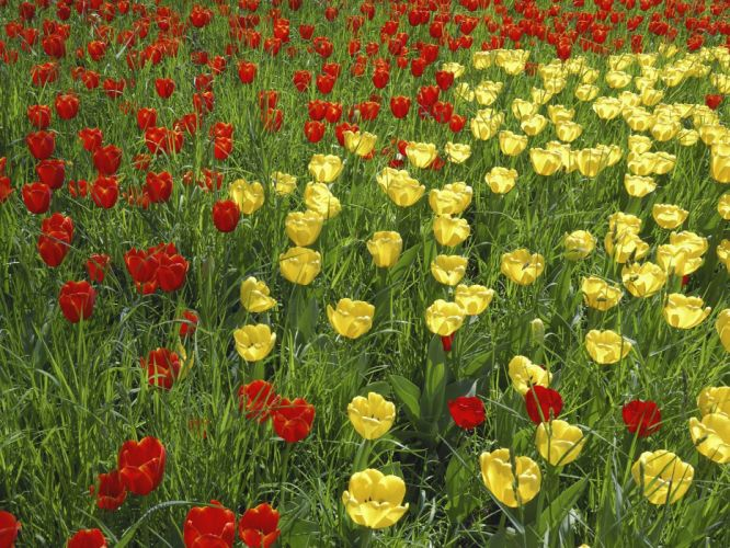 flowers grass tulips yellow flowers red flowers wallpaper