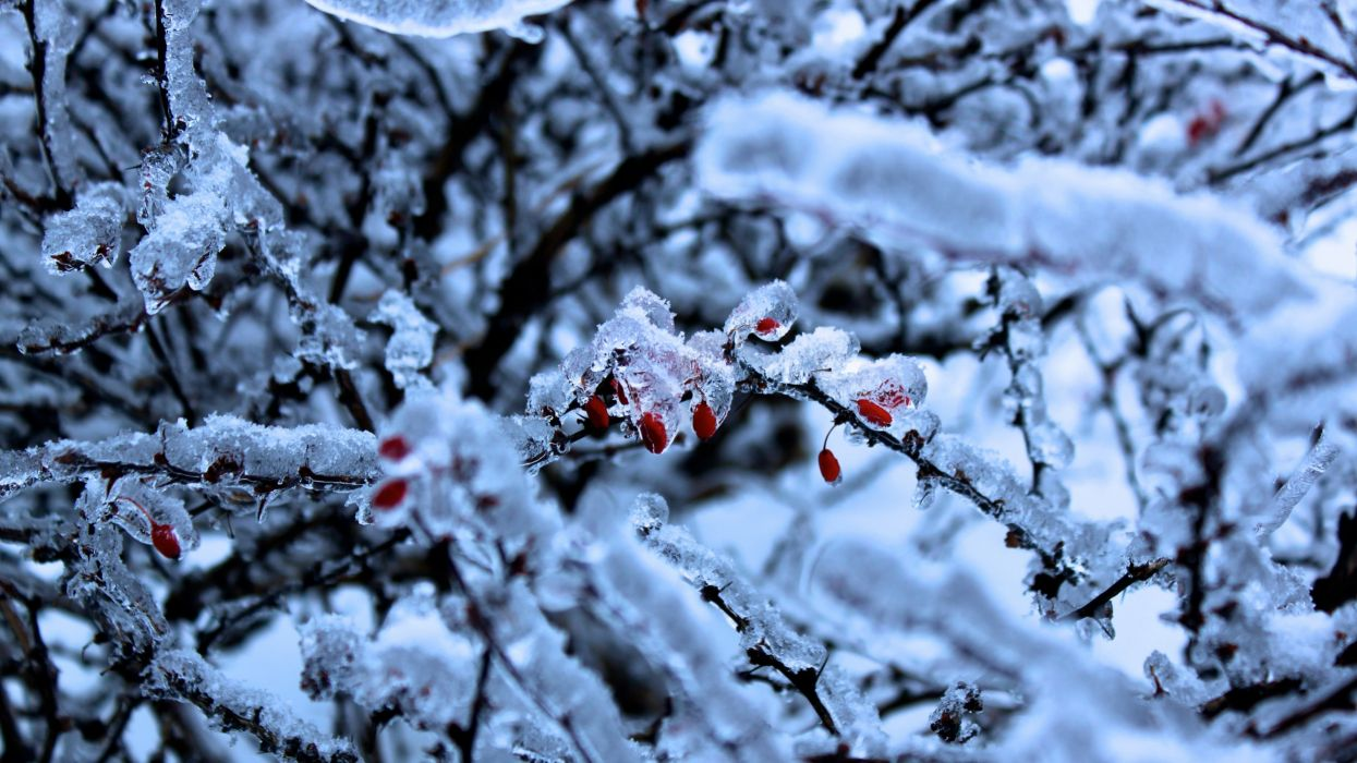 snow trees frost wallpaper