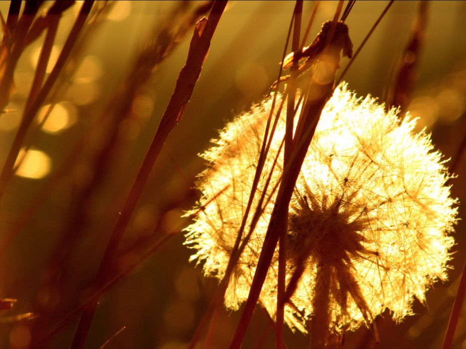 nature sunlight dandelions wallpaper