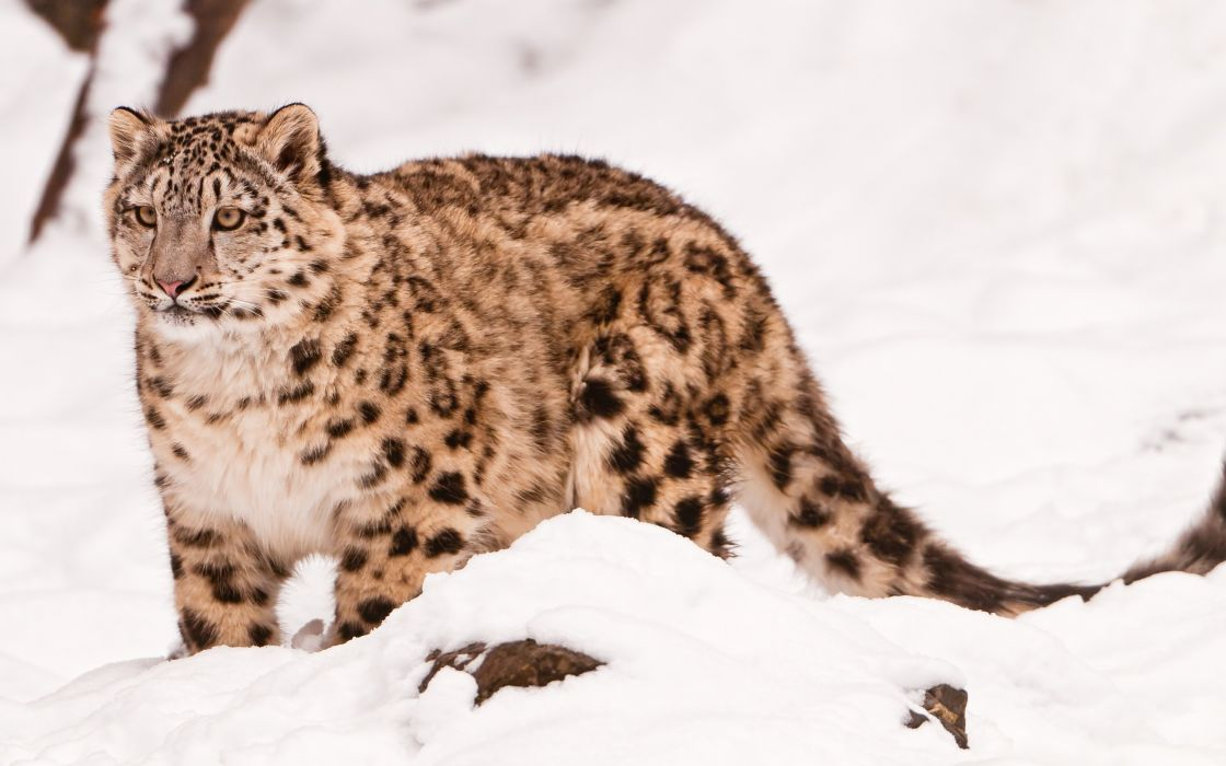cats animals snow leopards wallpaper