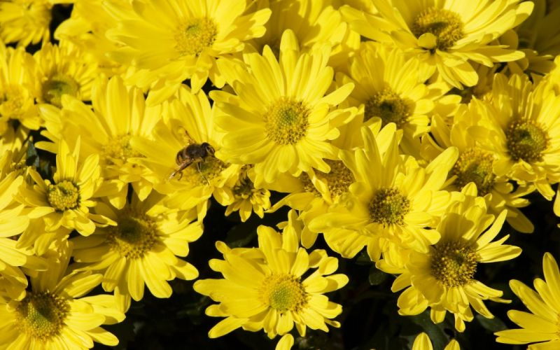 insects bees yellow flowers wallpaper