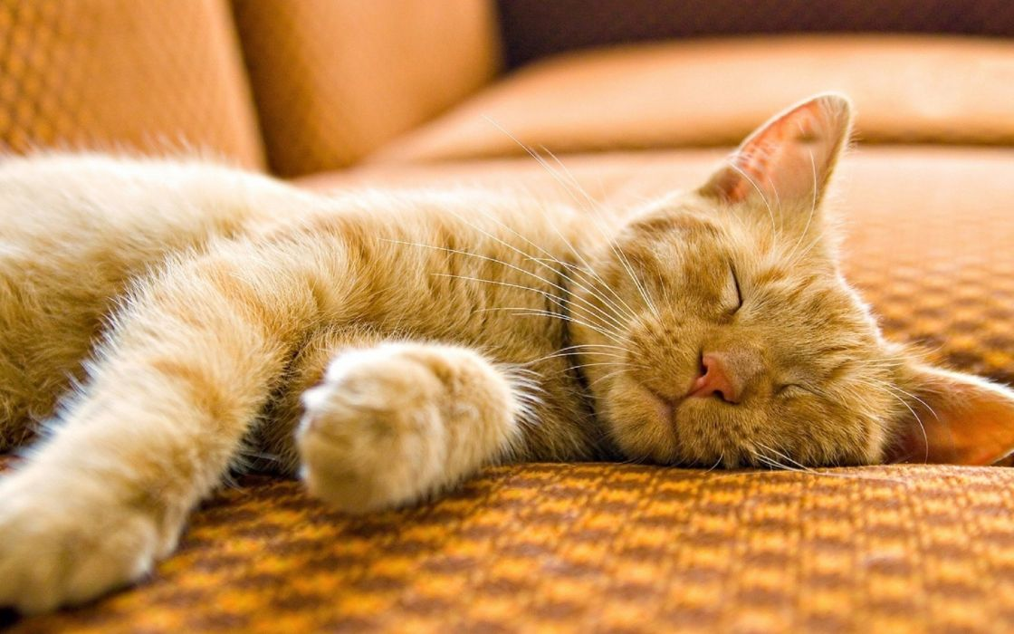 couch cats animals sleeping wallpaper