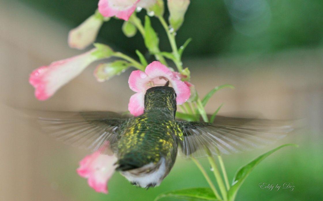birds animals hummingbirds wallpaper