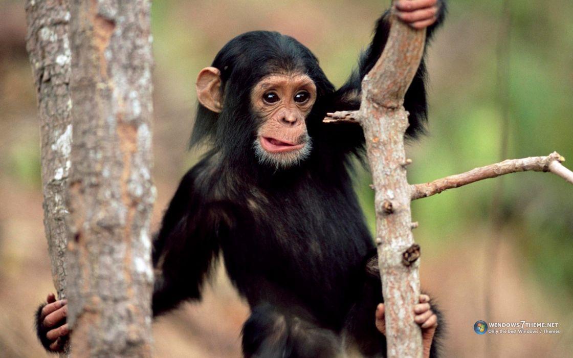 animals chimpanzee funny animals wallpaper
