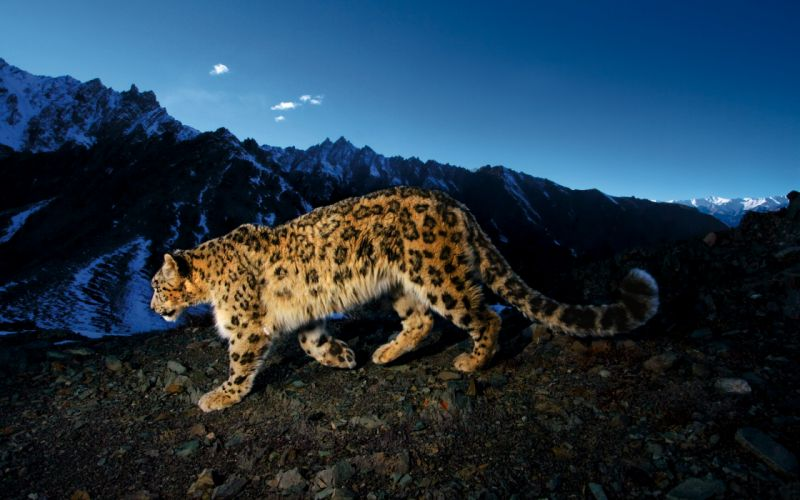 mountains animals snow leopards leopards wallpaper