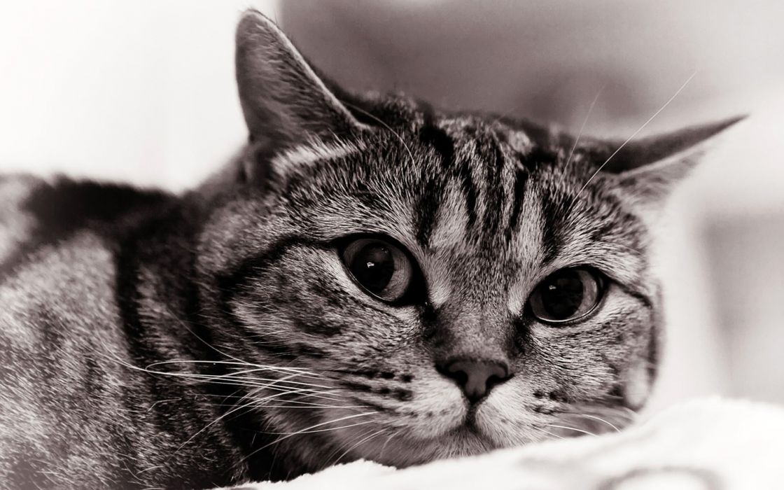 cats animals monochrome wallpaper