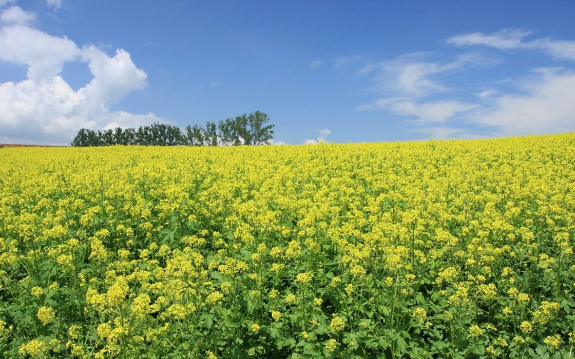 landscapes nature meadows yellow flowers wallpaper