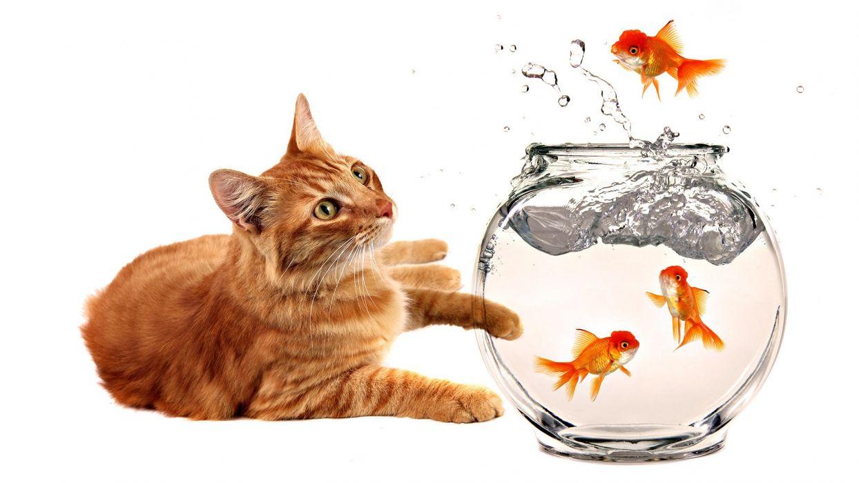 cats animals fish goldfish fish bowls wallpaper