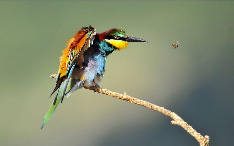 birds wildlife Bee Eaters wallpaper