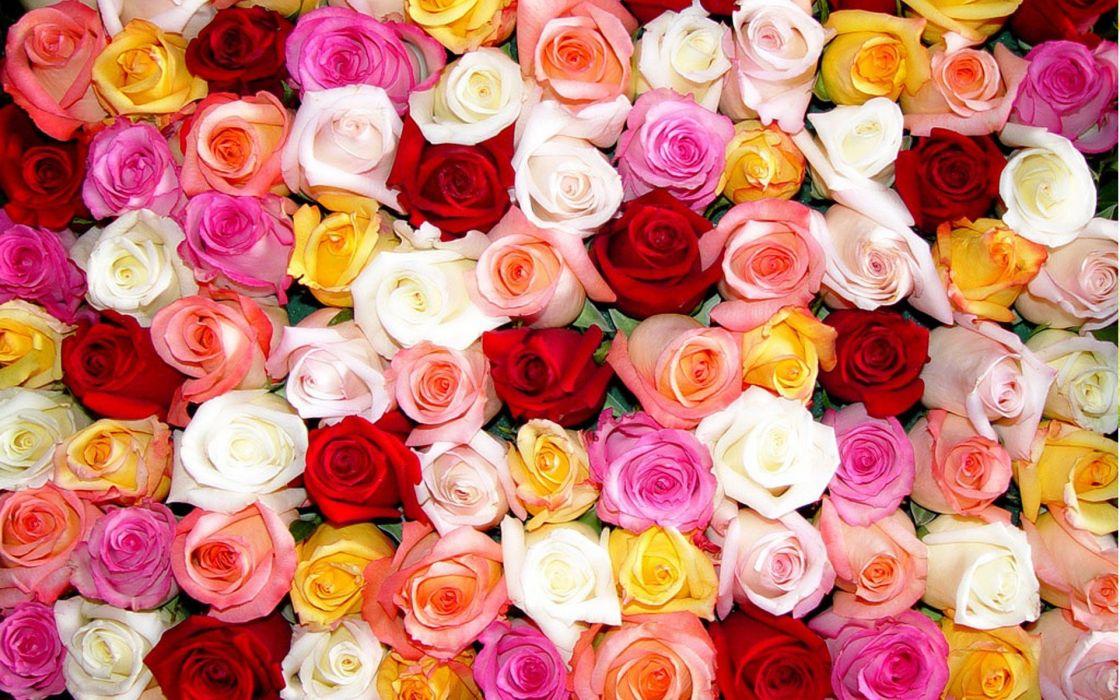 flowers roses colors wallpaper