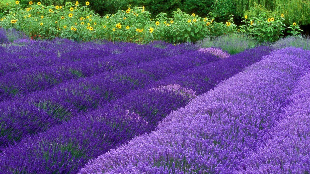 flowers lavender Washington farm purple flowers wallpaper