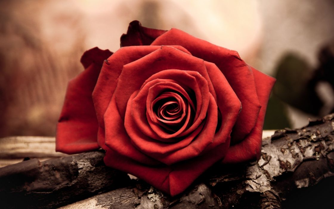 nature flowers roses red flowers red rose wallpaper