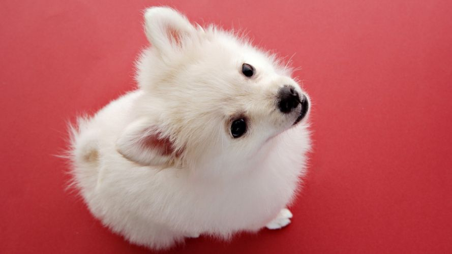 animals dogs spitz american eskimo wallpaper