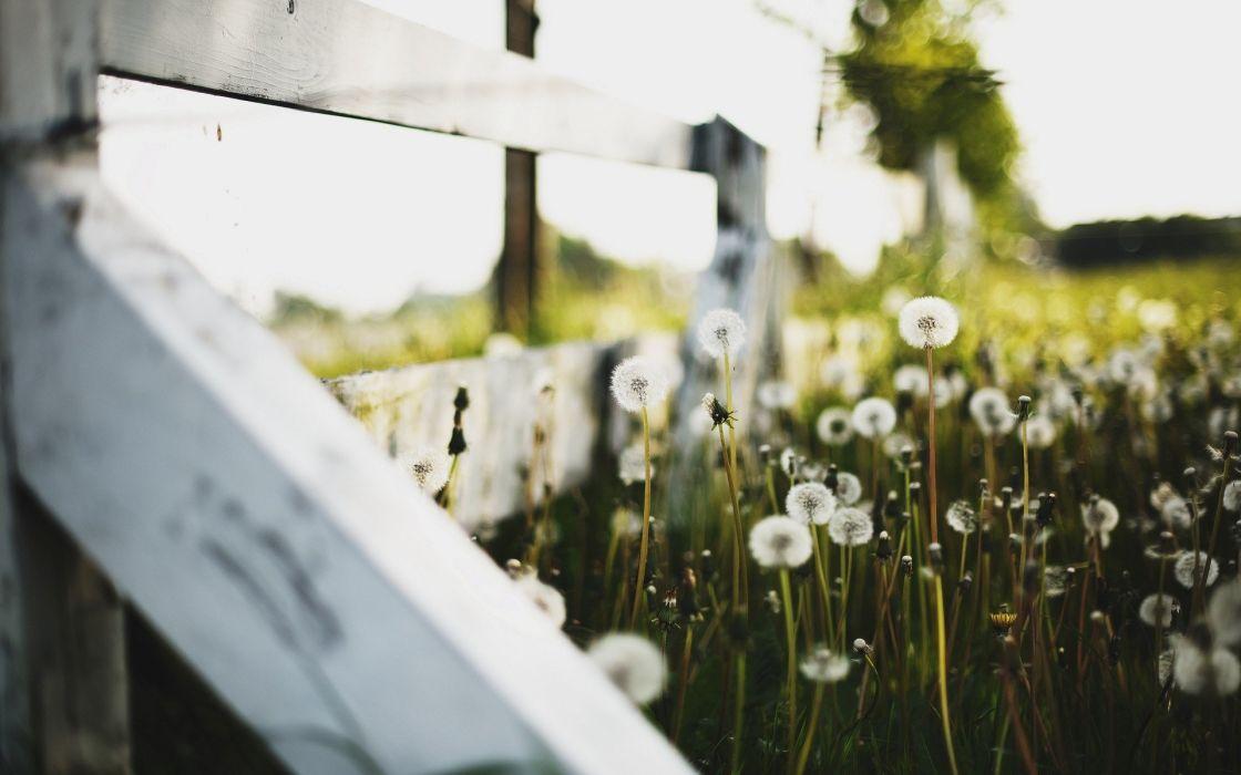 nature fences dandelions wallpaper