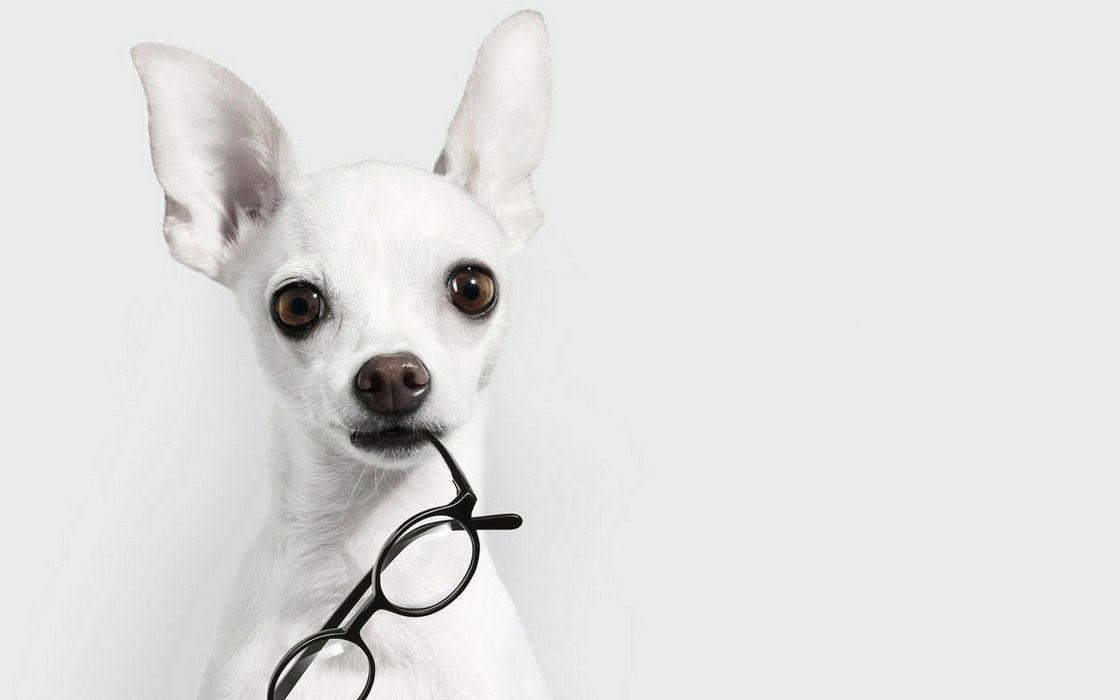 white animals dogs glasses chihuahua white background wallpaper