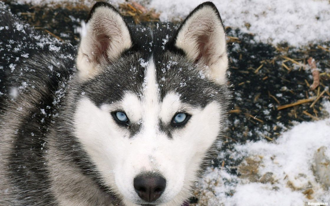snow blue eyes animals cold dogs wallpaper