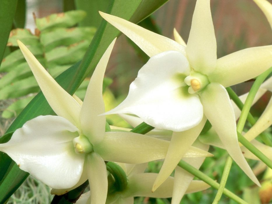 flowers orchids white flowers wallpaper