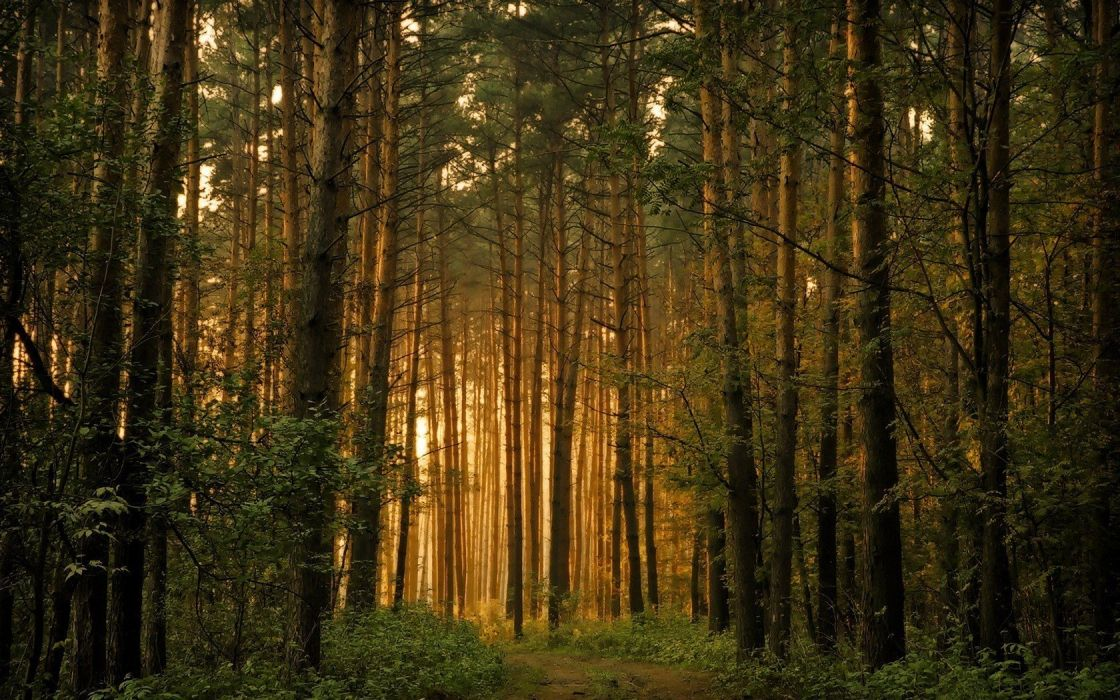nature forests wallpaper