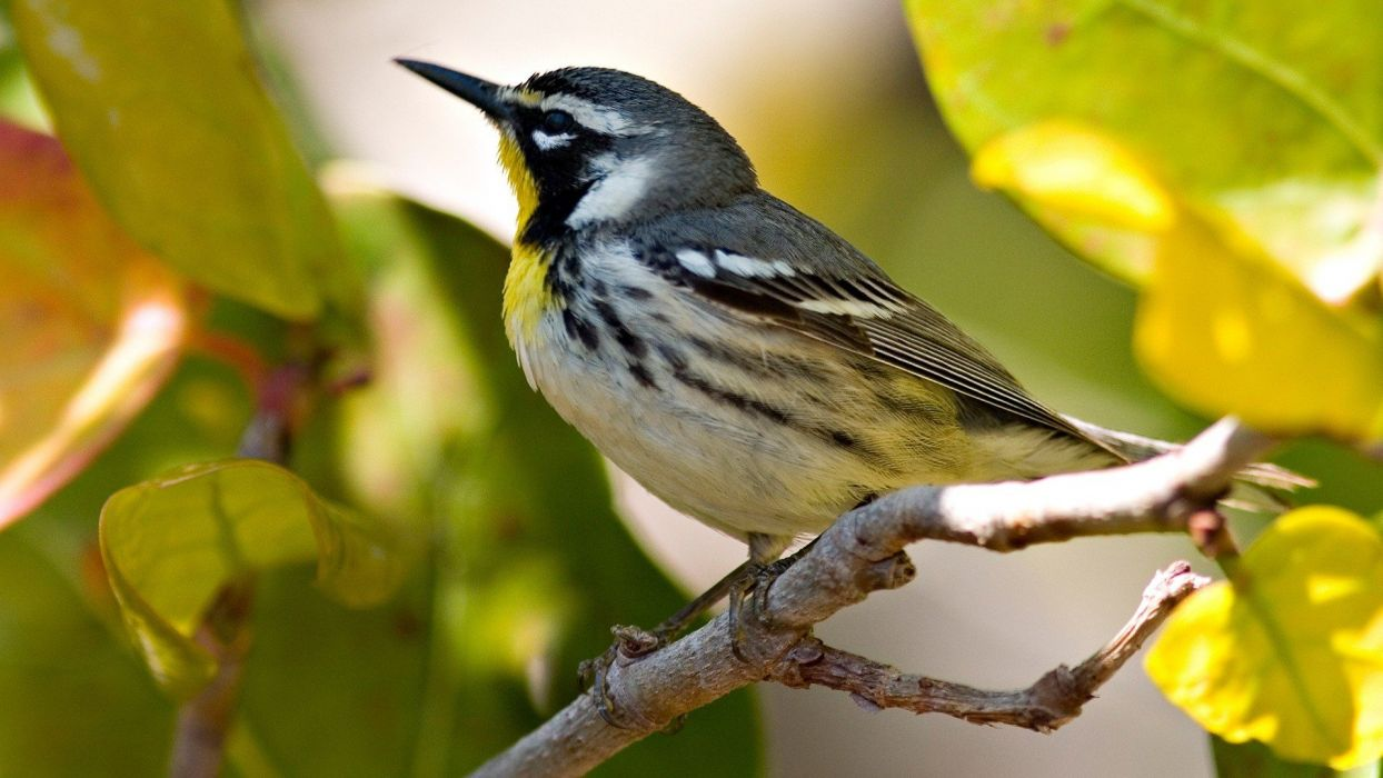 birds animals branches Warblers wallpaper