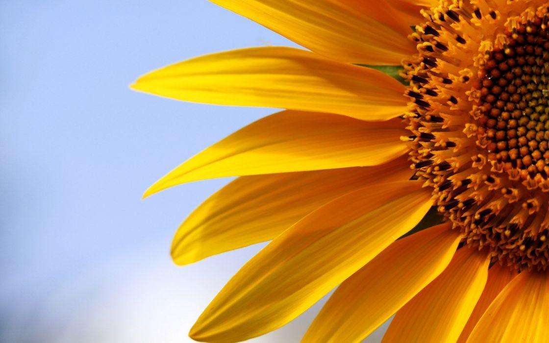 flowers macro sunflowers yellow flowers wallpaper