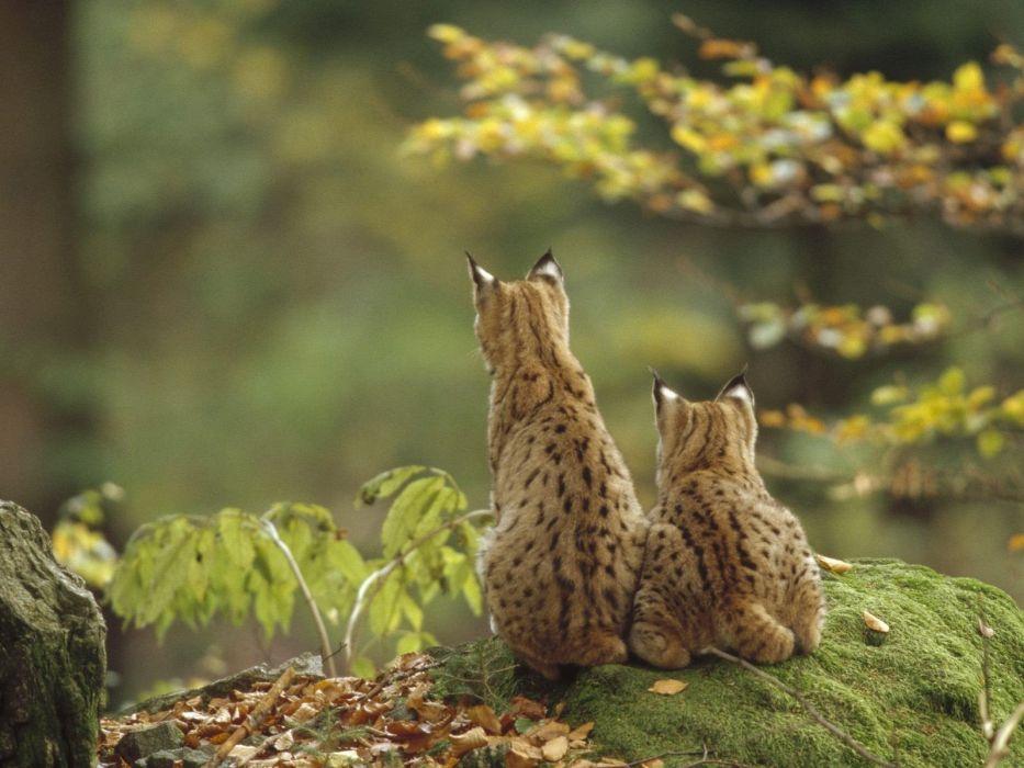 cats animals wildlife wallpaper