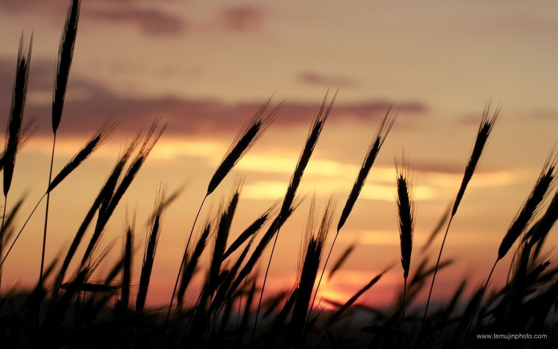 sunset nature silhouettes wheat Portugal skyscapes wallpaper