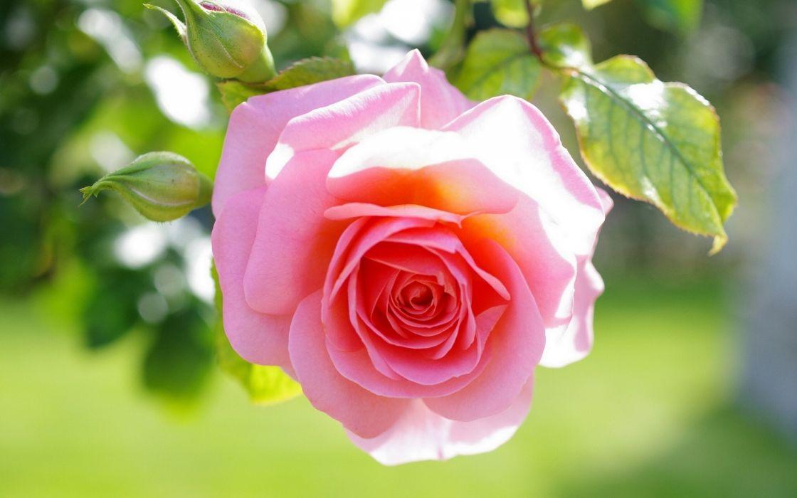 flowers roses pink flowers wallpaper